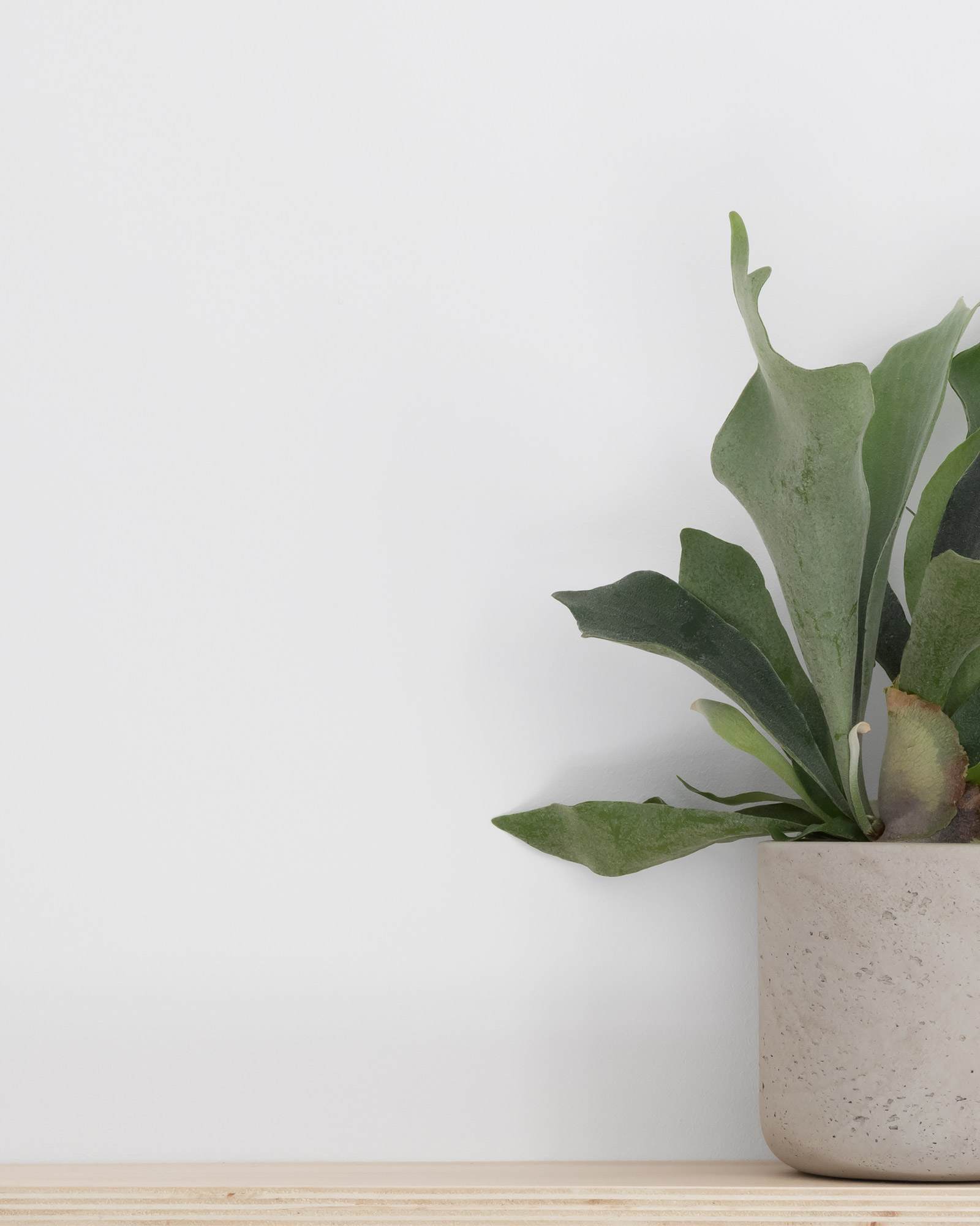 Staghorn fern in concrete planter on plywood shelf