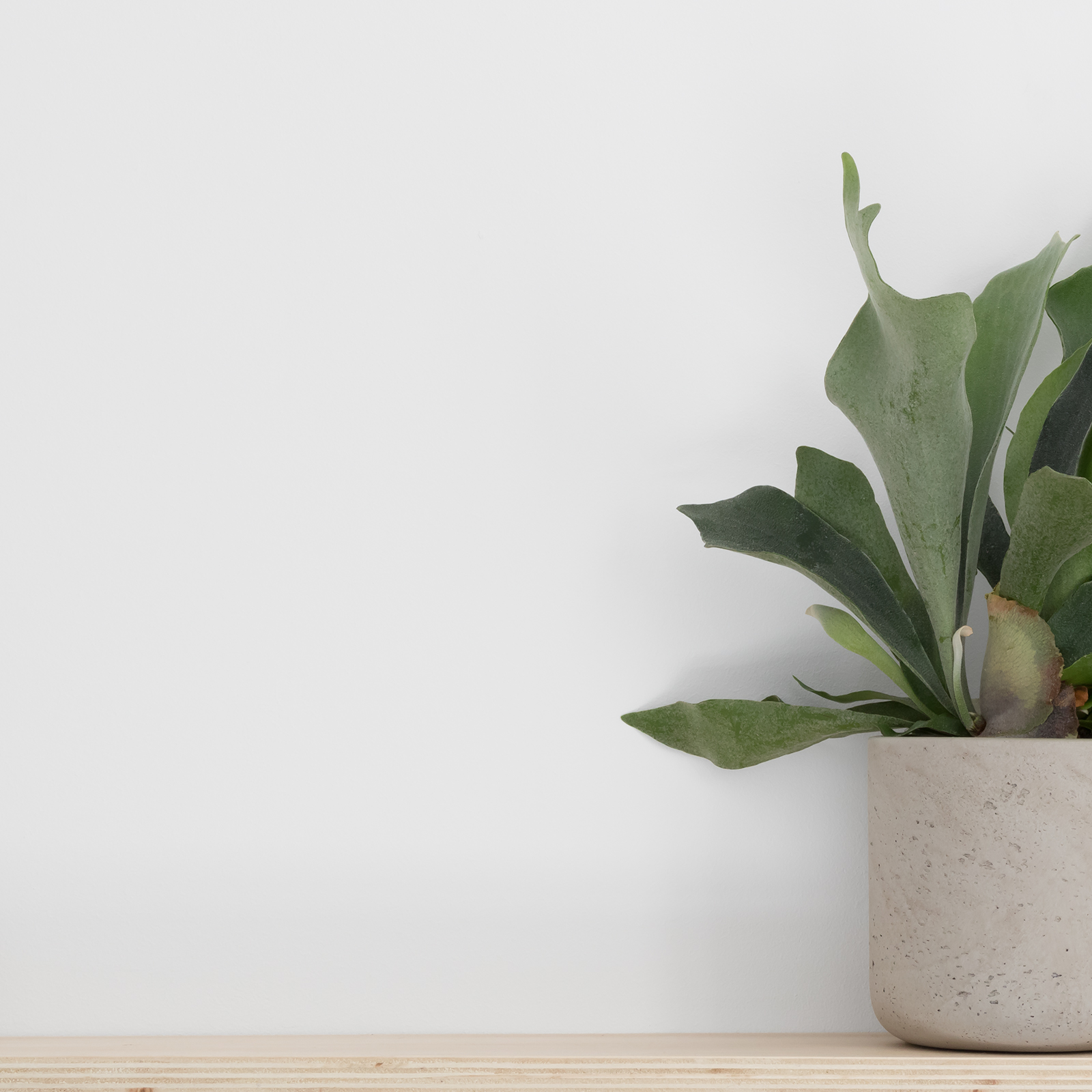 Staghorn fern in concrete planter, plywood shelf, white wall