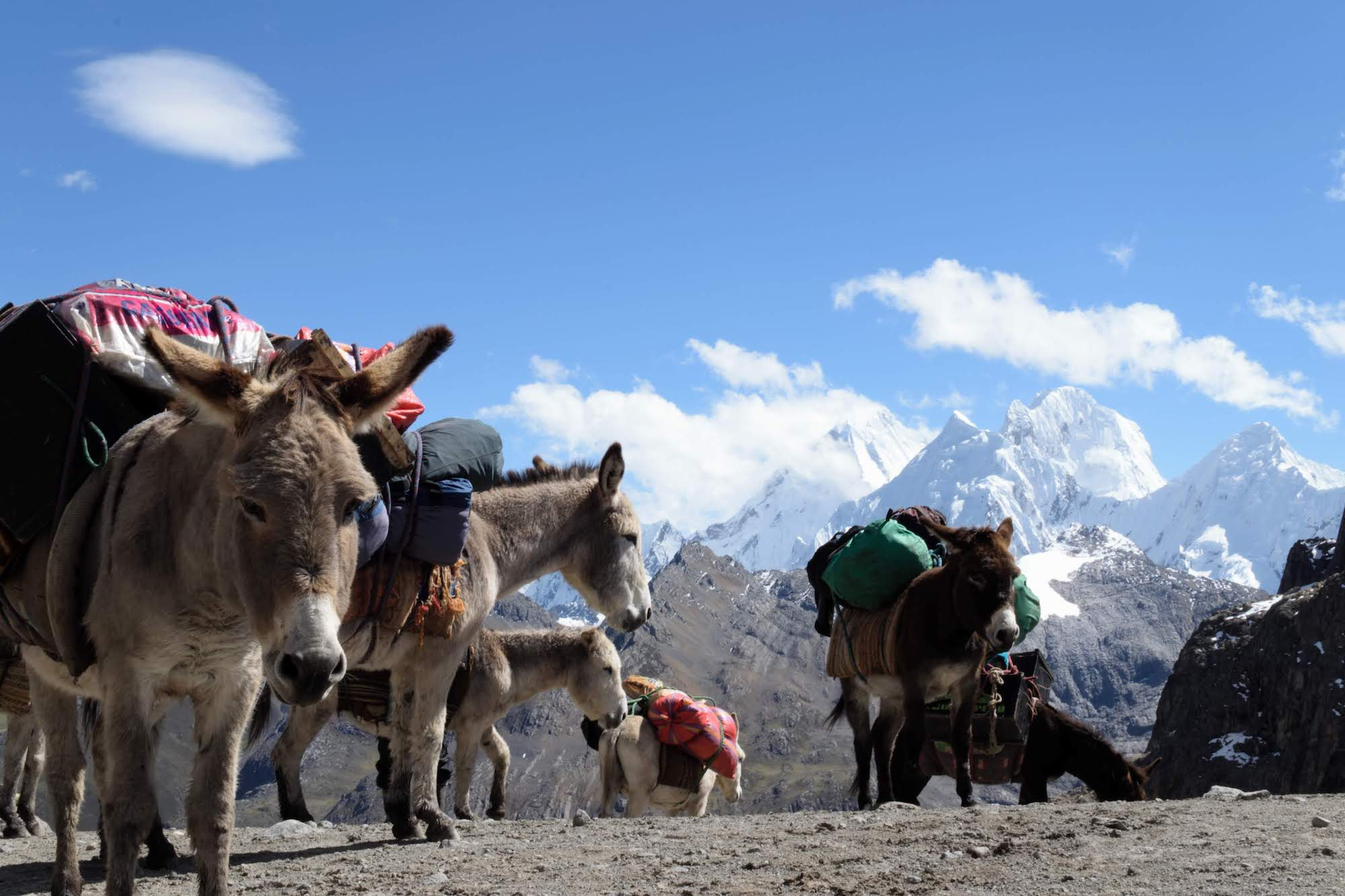 Donkeys resting while carrying supplies