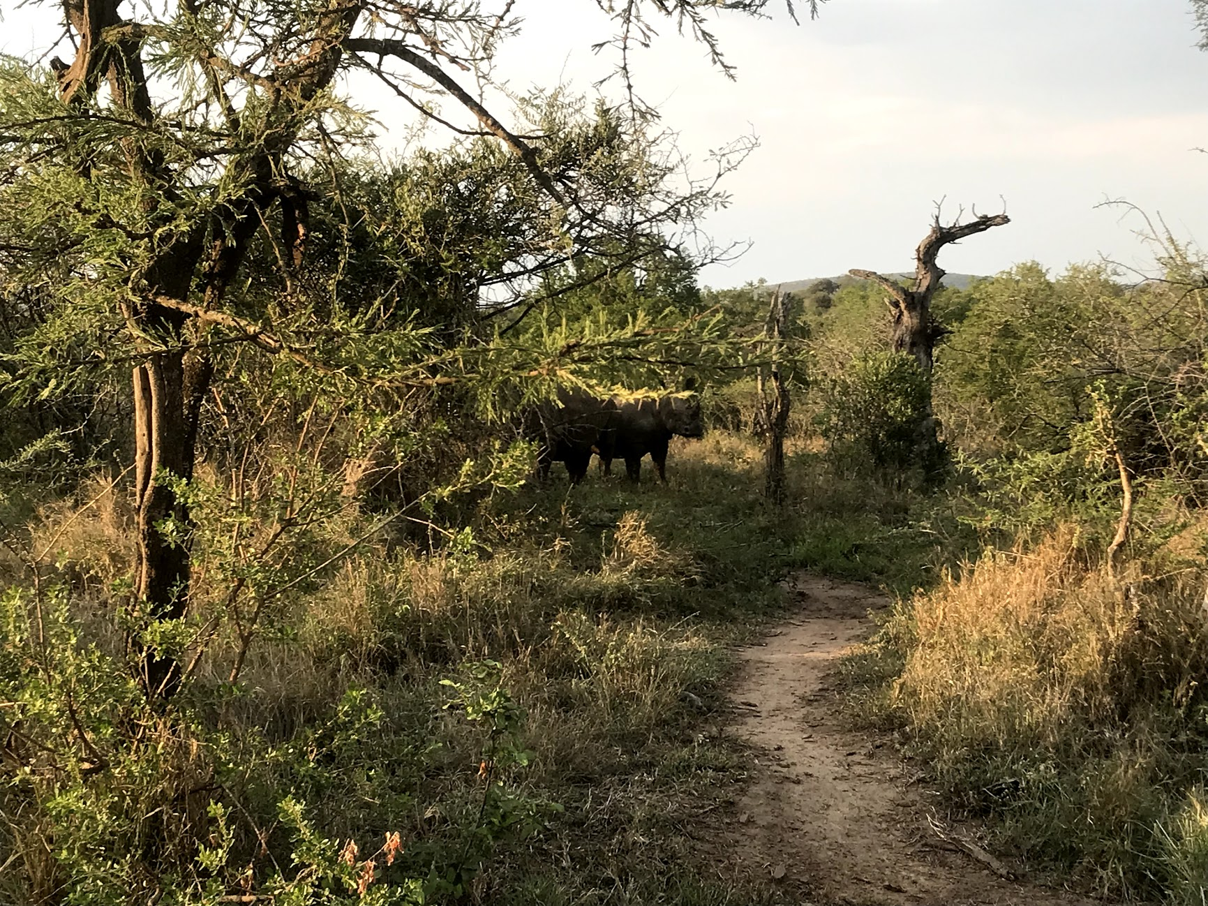 Rhinos approaching from the bush