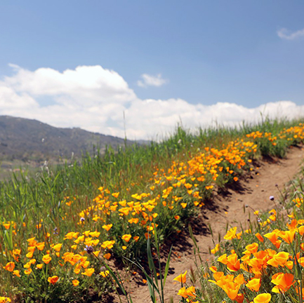 Poppies and clover line the sides of the Oak Slope horse trail, with green grass covering the hillside and mountain views in the background.