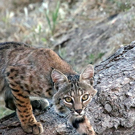 A bobcat stepping over a log while looking directly at the photographer