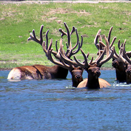 Eight bull elk cool off in the shoulder deep waters of Cub Lake