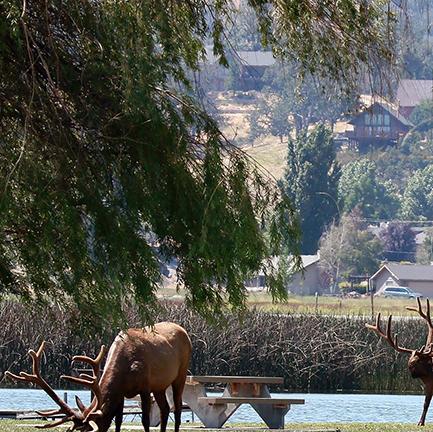Elk graze the grass near Cub Lake