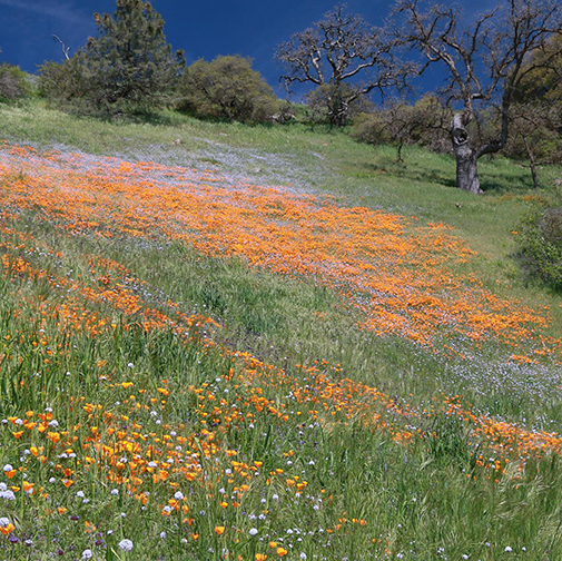 Poppies and wildflowers blanket the slopes of sycamore canyon