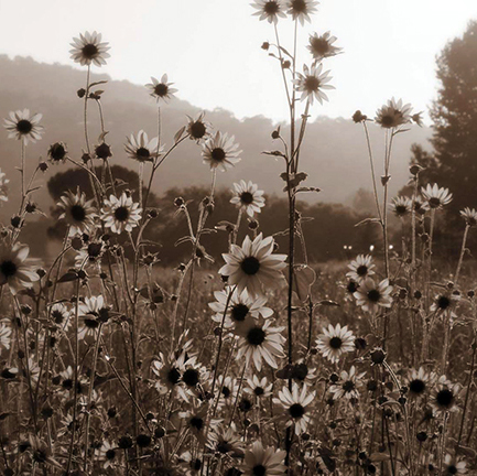 A sepia toned view of a field of wildflowers as the sun sets with pine tree in the background