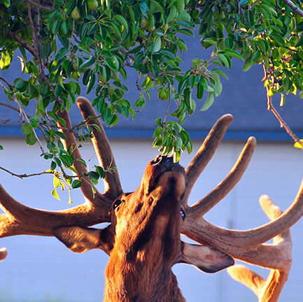 A bull elk with full antlers reaches up to nibble leaves from a tree
