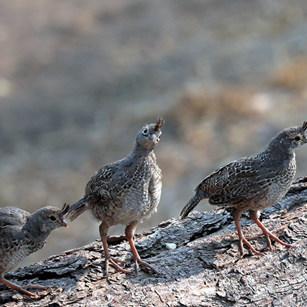 Four quail chicks sit on a log, heads cocked as they watch the world around them