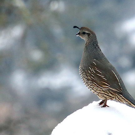 A single quail hen keeps watch from the top of a snow covered tree stump