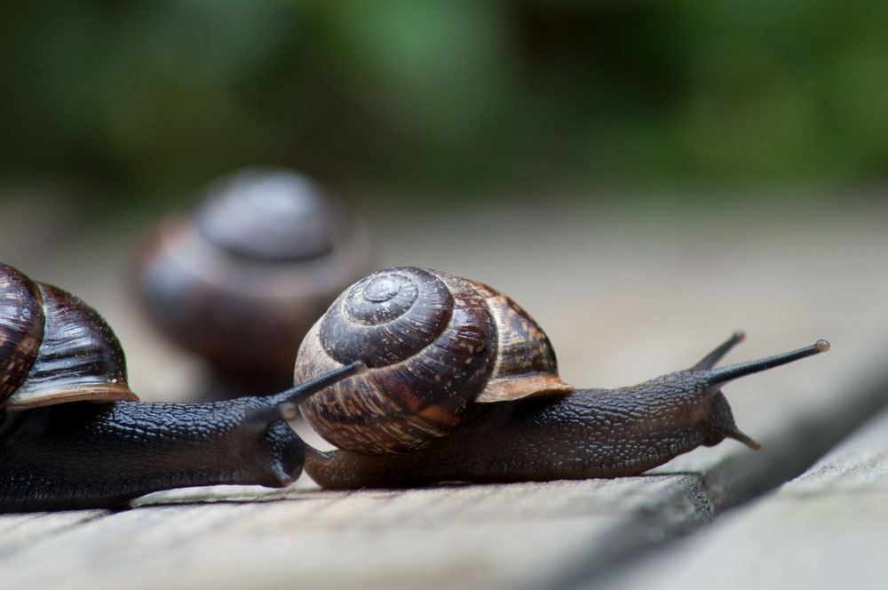 Two brown-colored snails