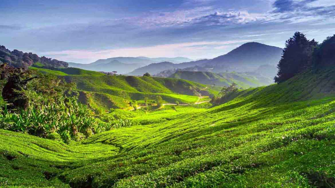 Tea plantation in Cameron Highlands, Pahang, Malaysia