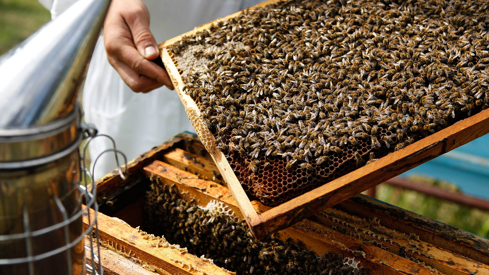 Beekeeper taking beehive frame