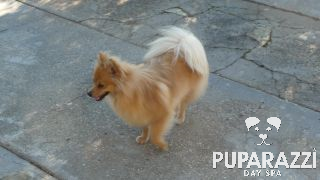 Holly the Pom at Puparazzi Day Spa
