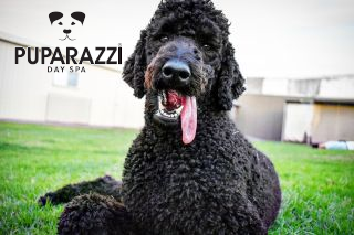 BIrthday at Puparazzi Day Spa for Percy the Standard Poodle