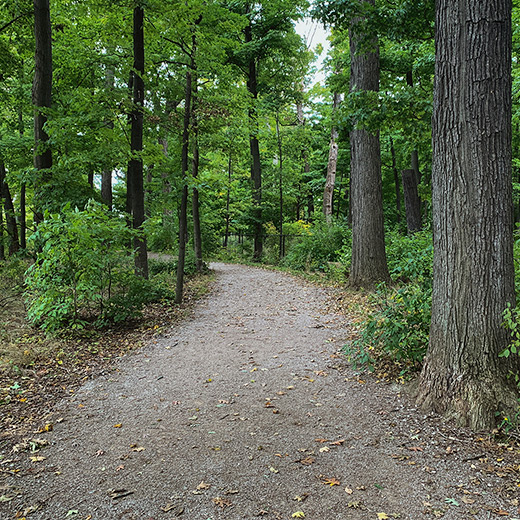 Walking trail in the summer with lots of tall trees