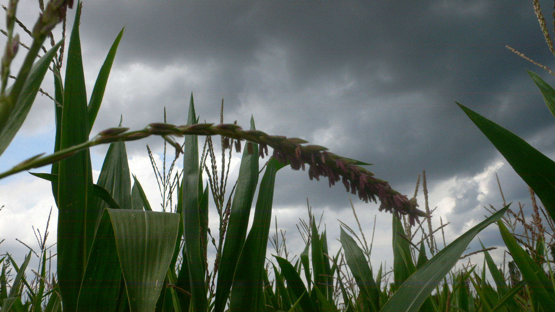 Maisfeld hinter dem Pfaffengrund