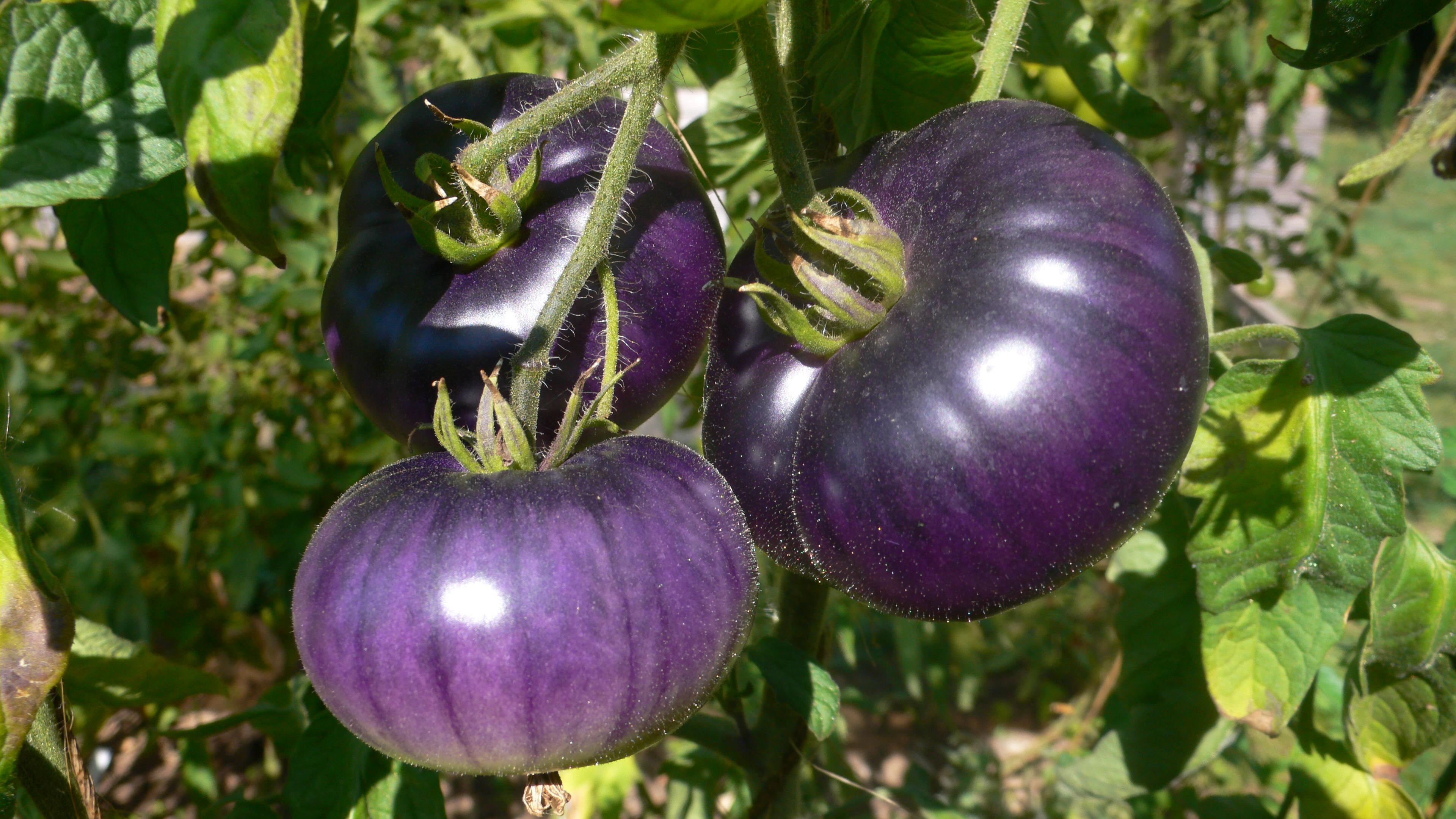Lilafarbene Tomaten enthalten nicht nur Carotinoide, sondern auch Anthocyane