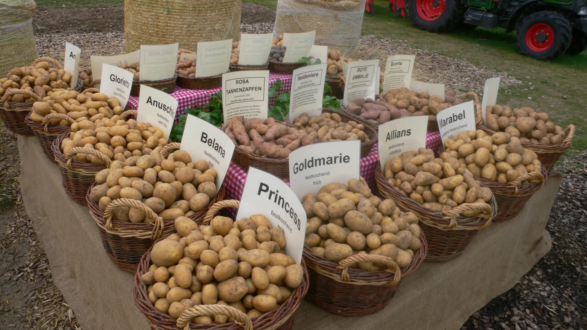Kartoffeln liegen in vielen Zuchtformen vor.