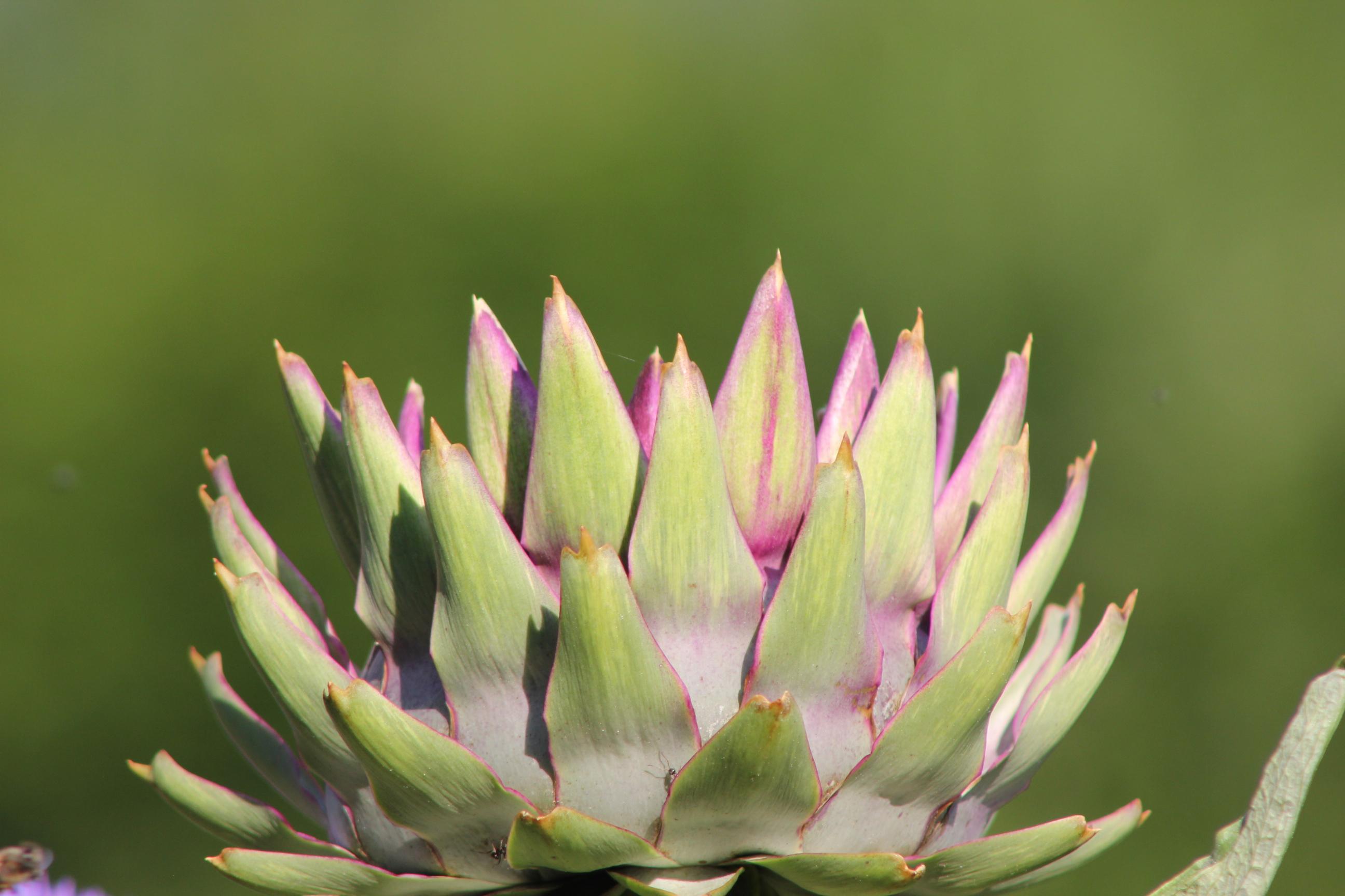 Hüllblätter des Blütenkorbes der Artischocke