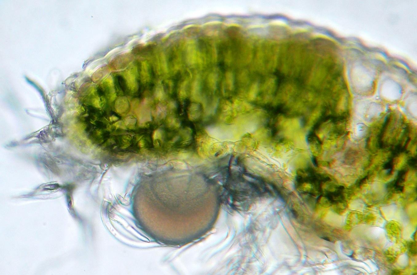 Öldrüse auf der Blattepidermis