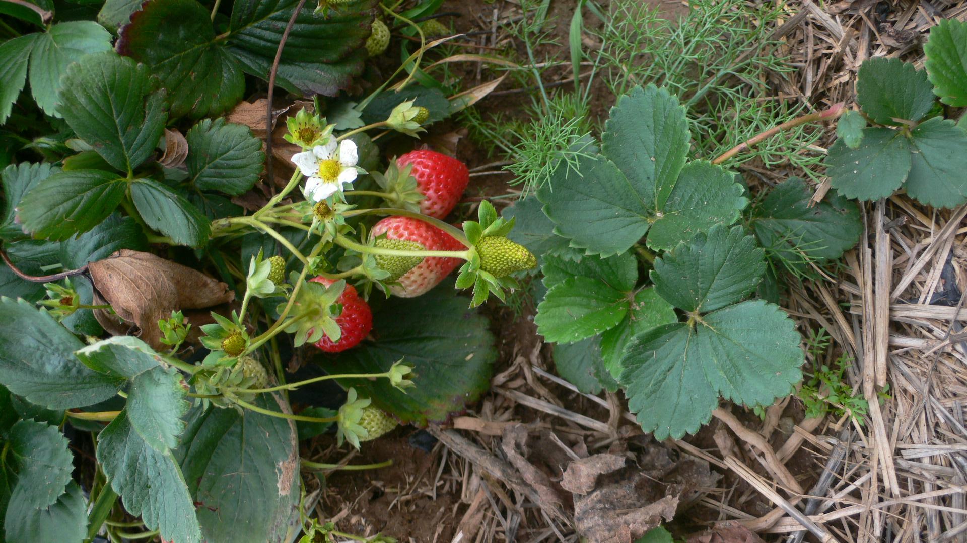Monatserdbeeren im Oktober