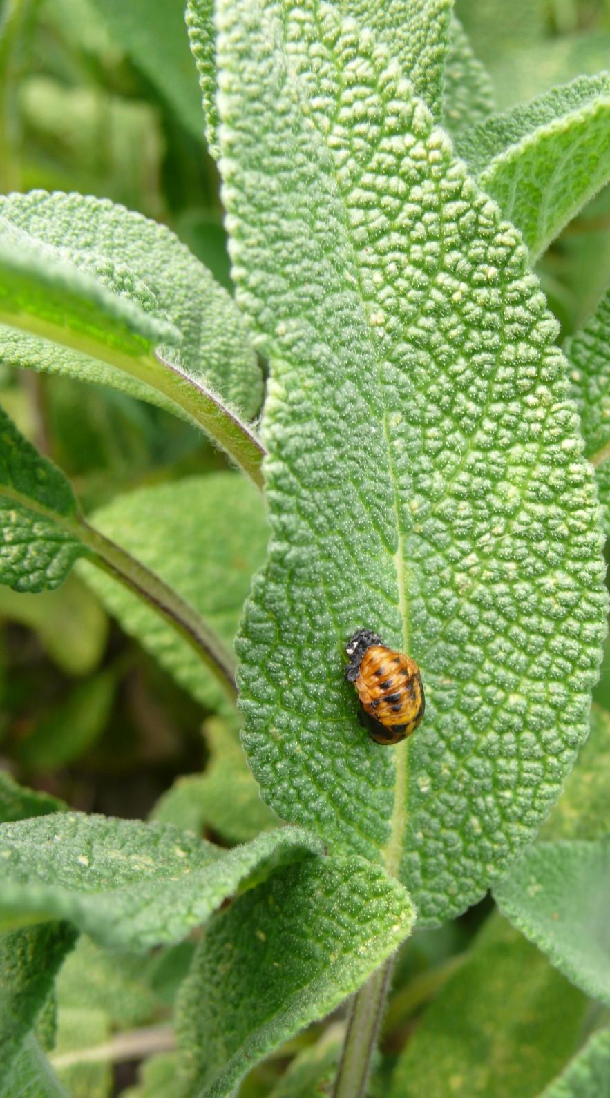Marienkäfer entwicklen sich auf Gartensalbei