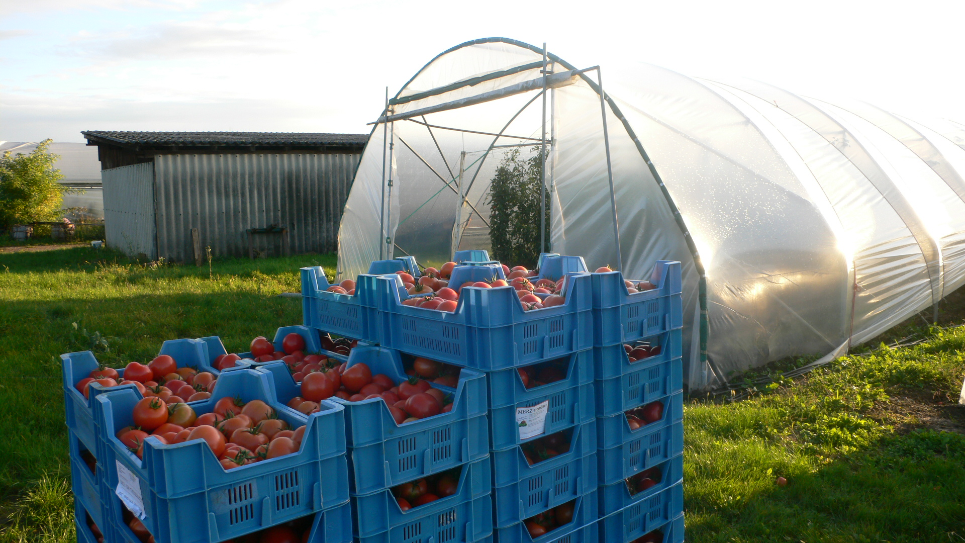 Mit dem Gemüse aus dem Handschuhsheimer Feld werden auch Großmärkte beliefert