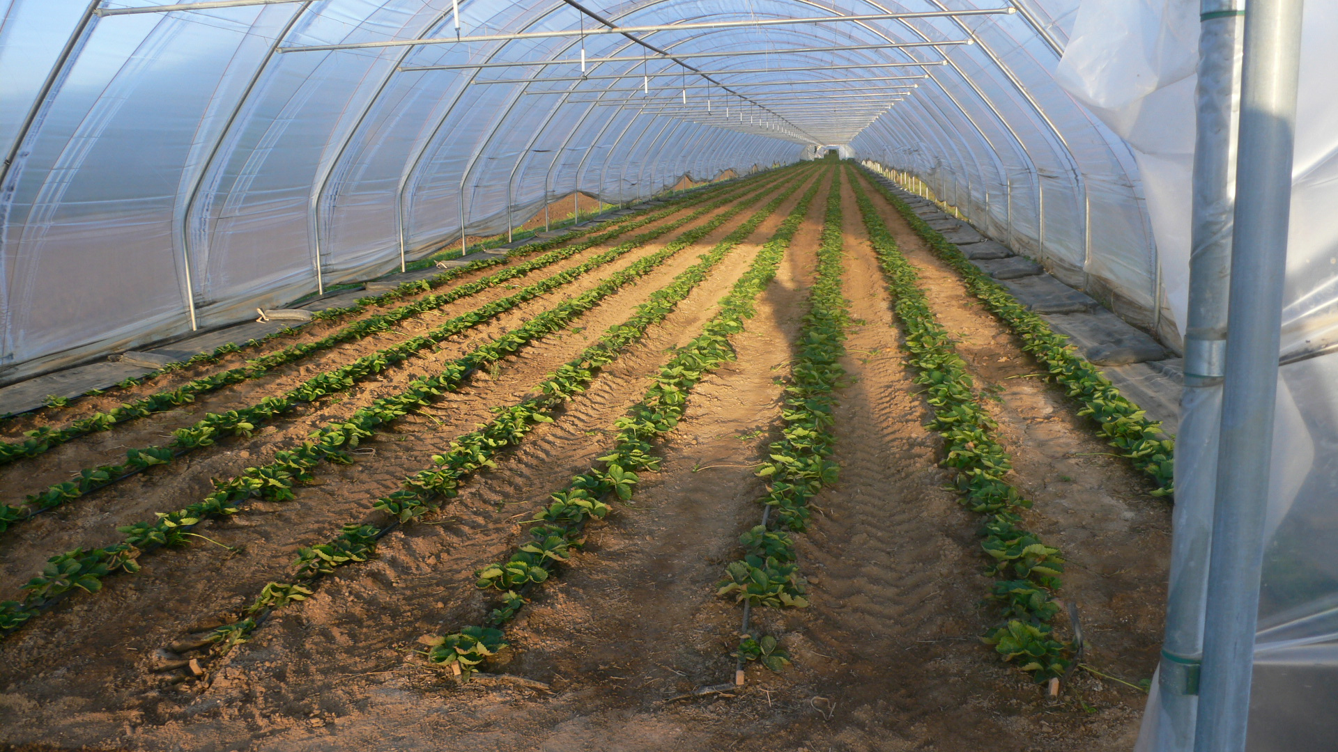 Folientunnel mit Erdbeerpflanzen