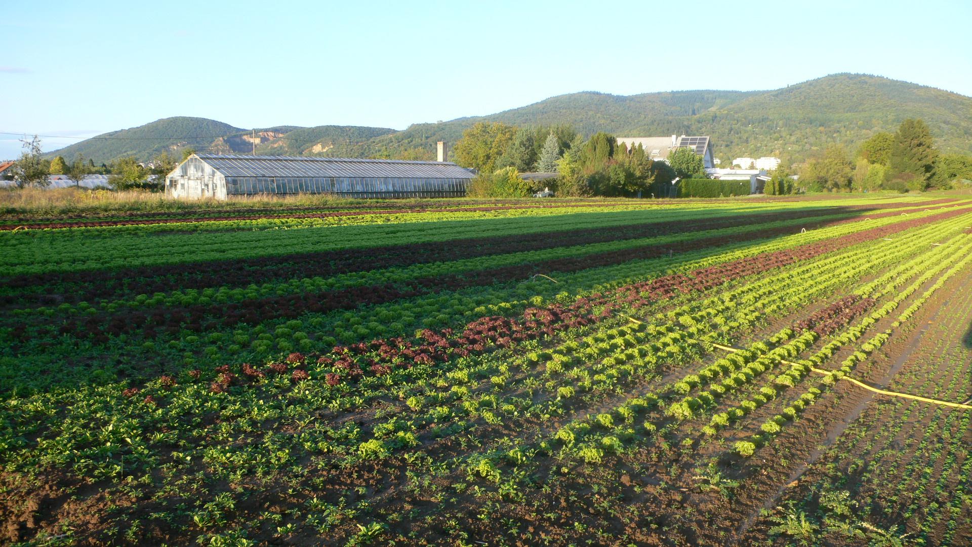 Salat im Herbst im Handschuhsheimer Feld