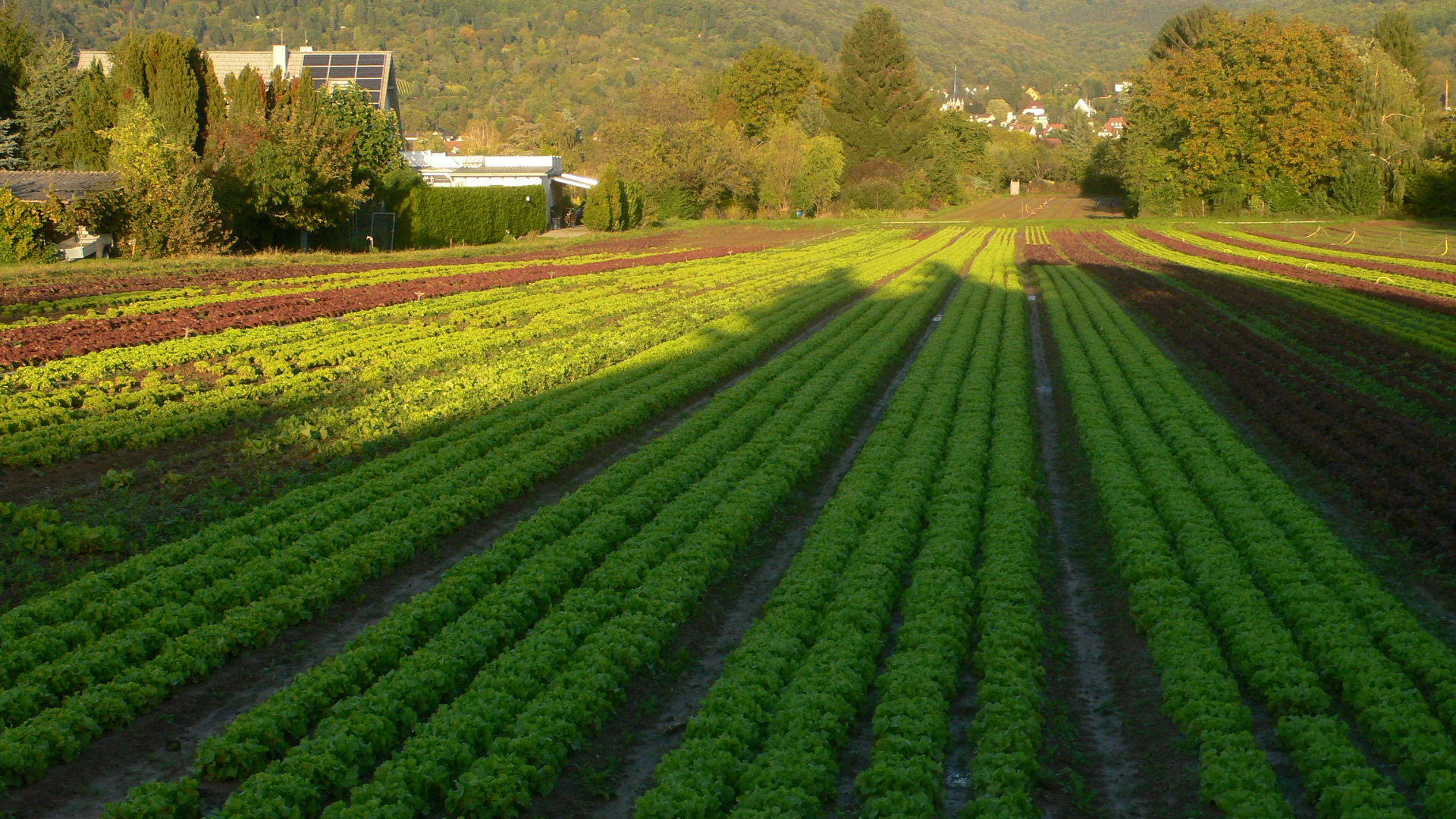 Salat im Handschuhsheimer Feld in vielen Varietäten