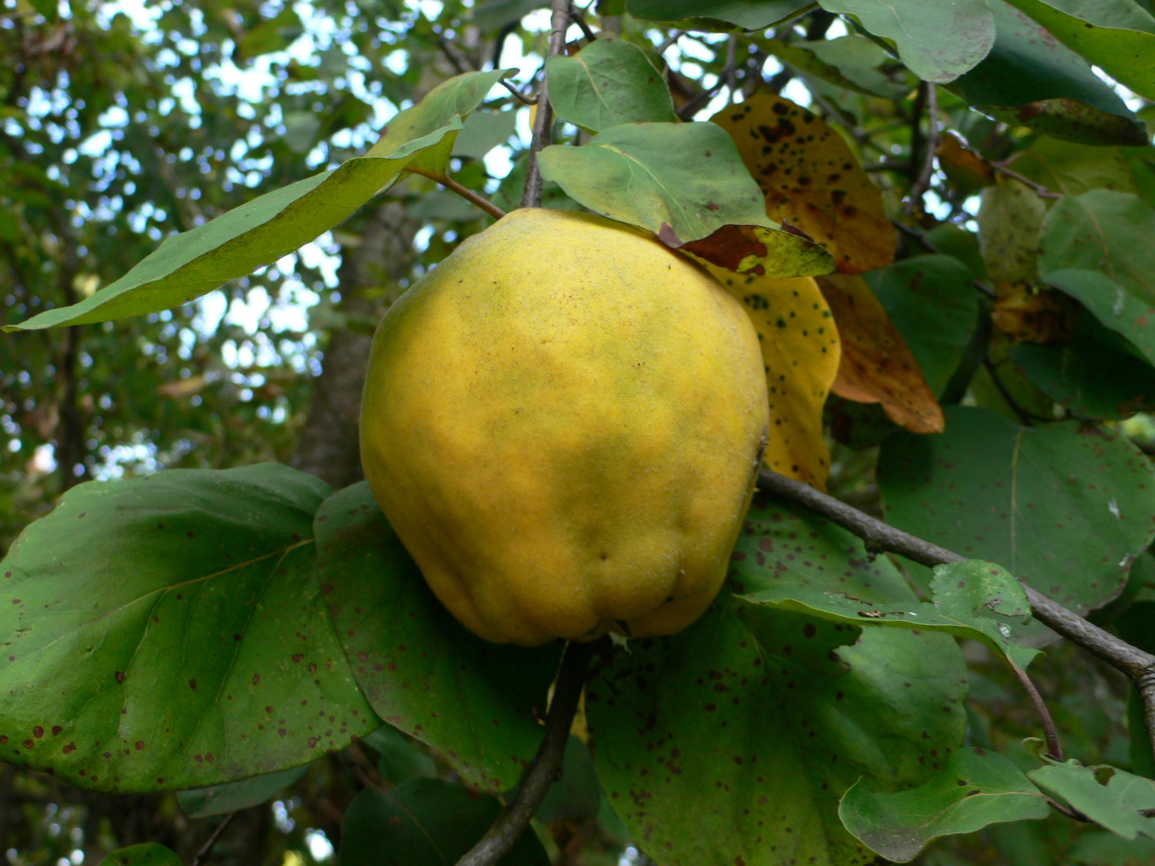 Quitten haben die äußere Form von Äpfeln oder Birnenfrüchten.