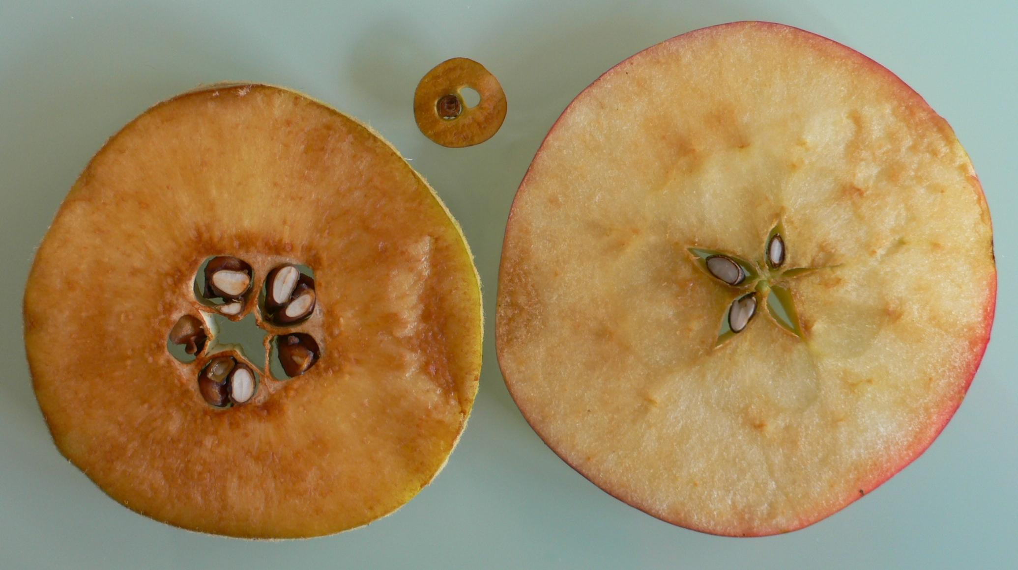 Quitten sind botanisch Apfelfrüchte.