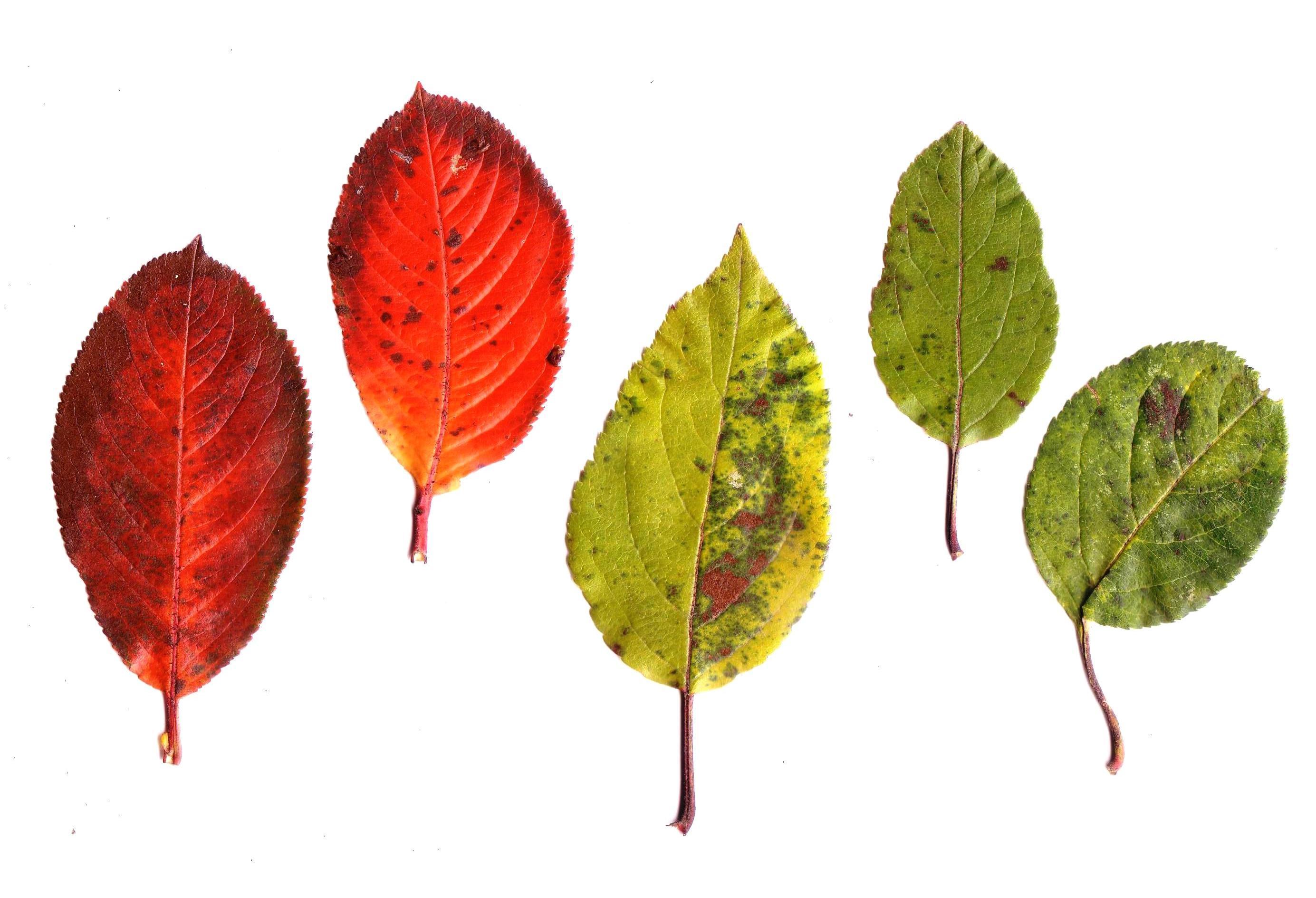 Im Vergleich zum Apfel haben Blätter der Aronia eine rote Herbstfärbung.