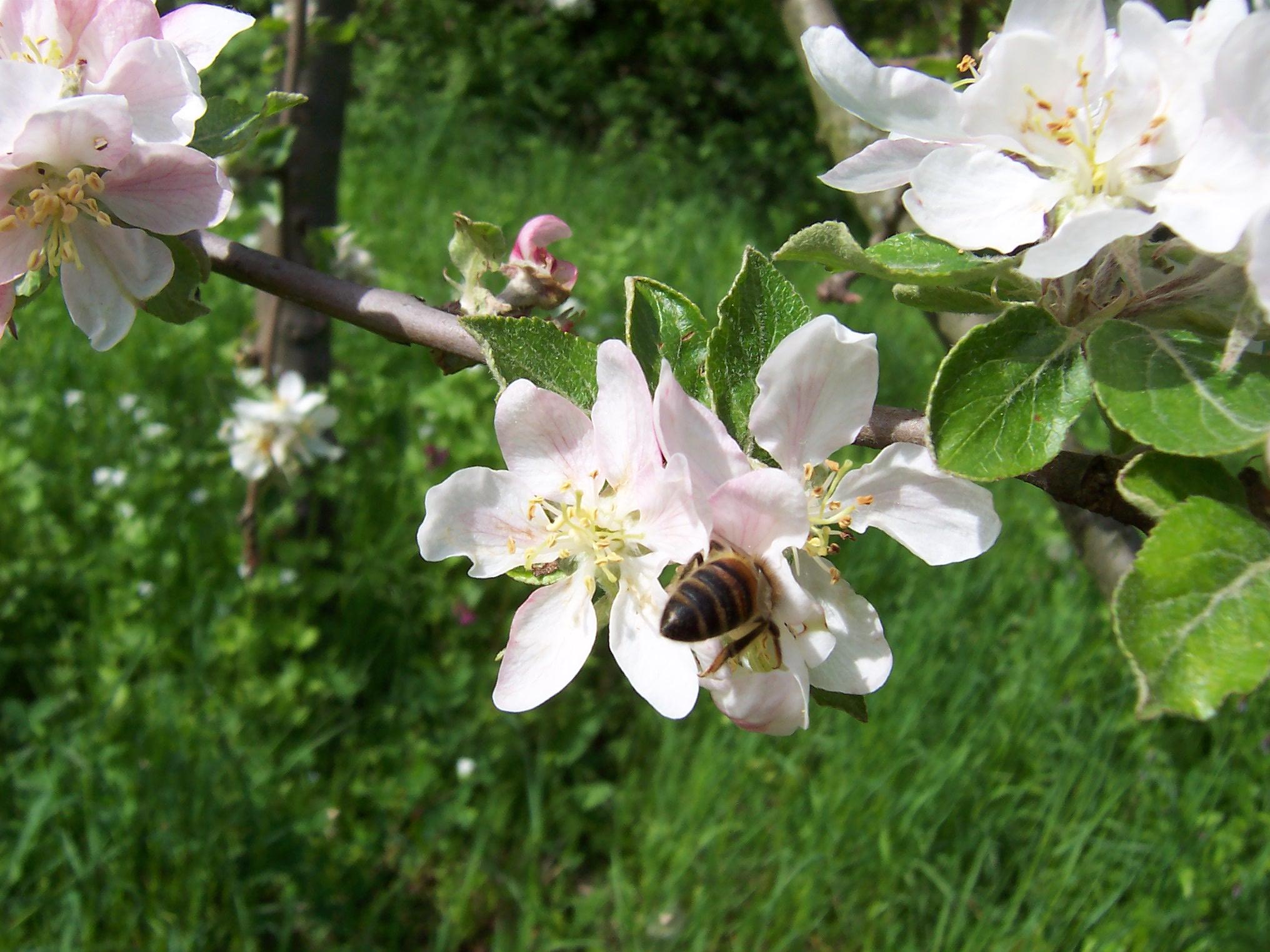 Honigbienen und Apfelblüten - das passt gut zusammen.