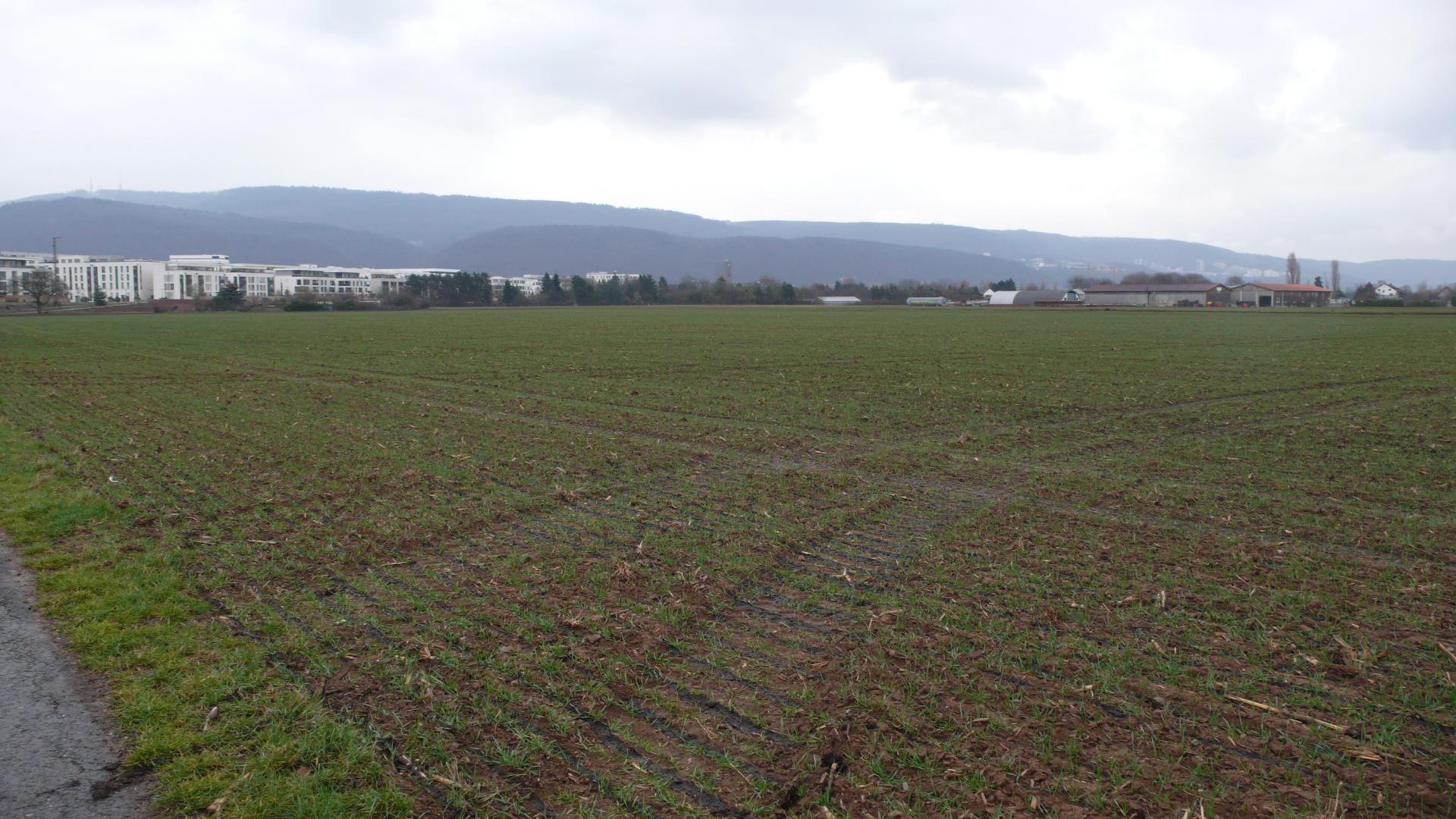 Feld mit Triticale hinter der Bahnstadt