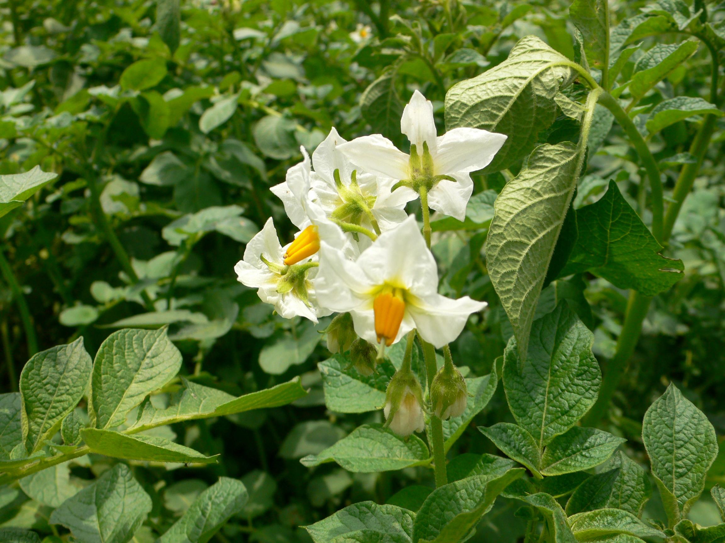 Kartoffeln sind Nachtschattengewächse, die Blüten zeigen dies deutlich.