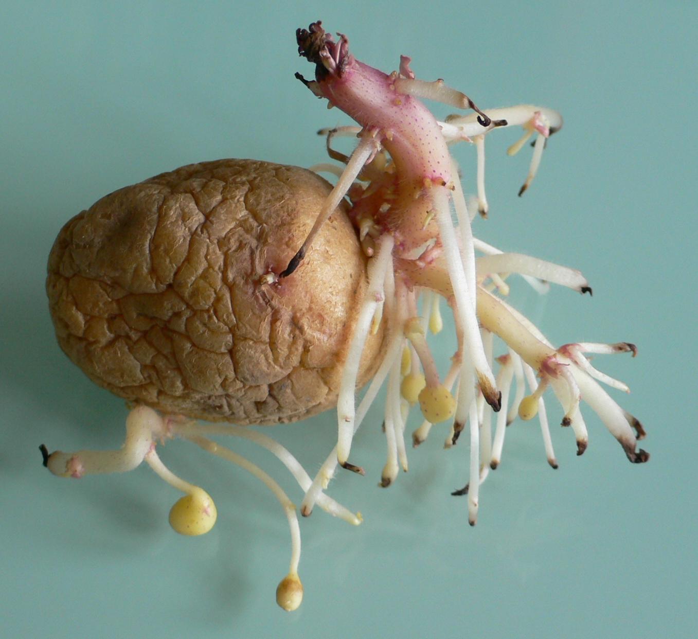 Kartoffeln bilden Stolonen - Seitentriebe mit Verdickungen.