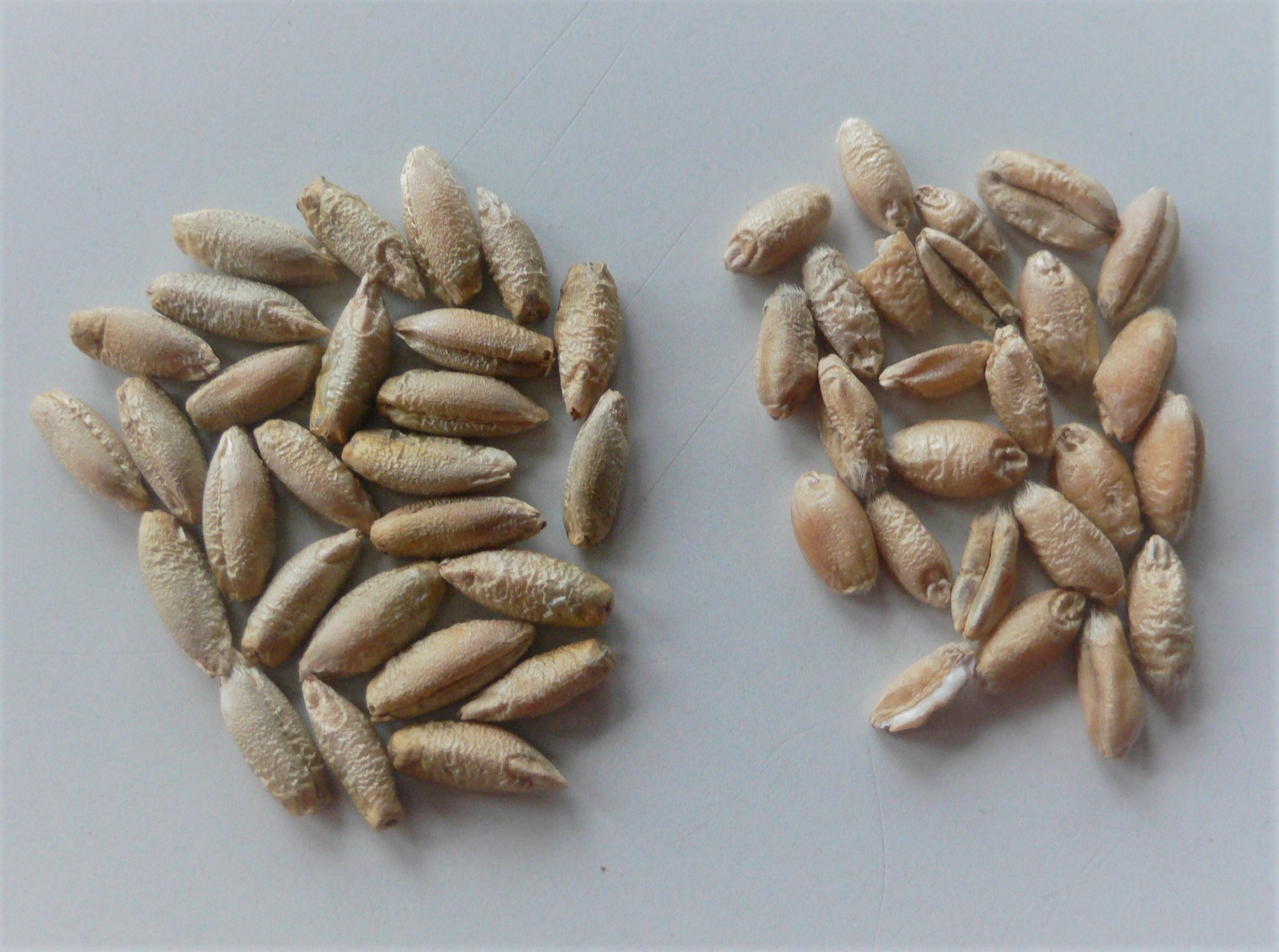 Roggen und Weizen im Vergleich