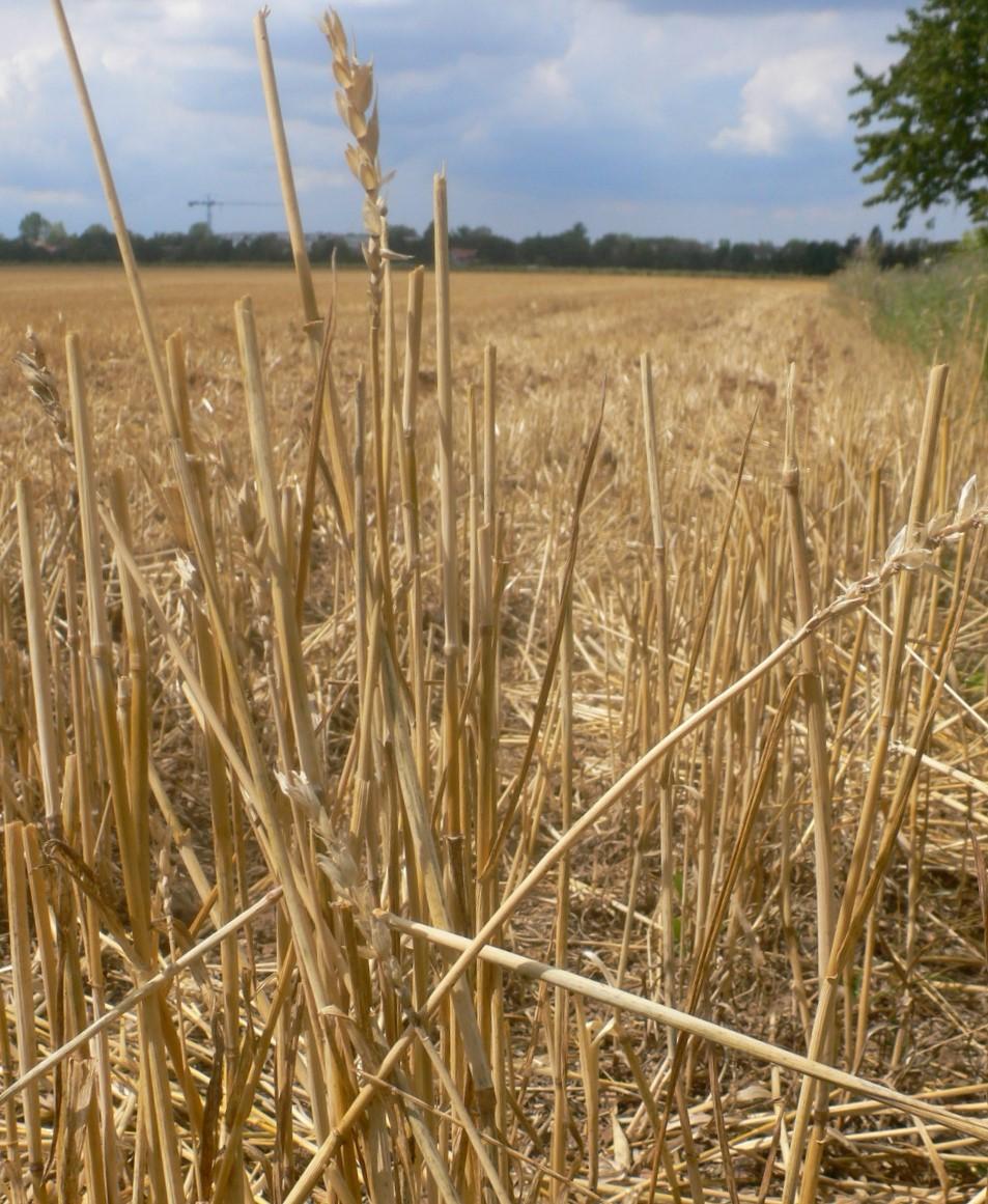 Weizenfeld kurz nach der Ernte