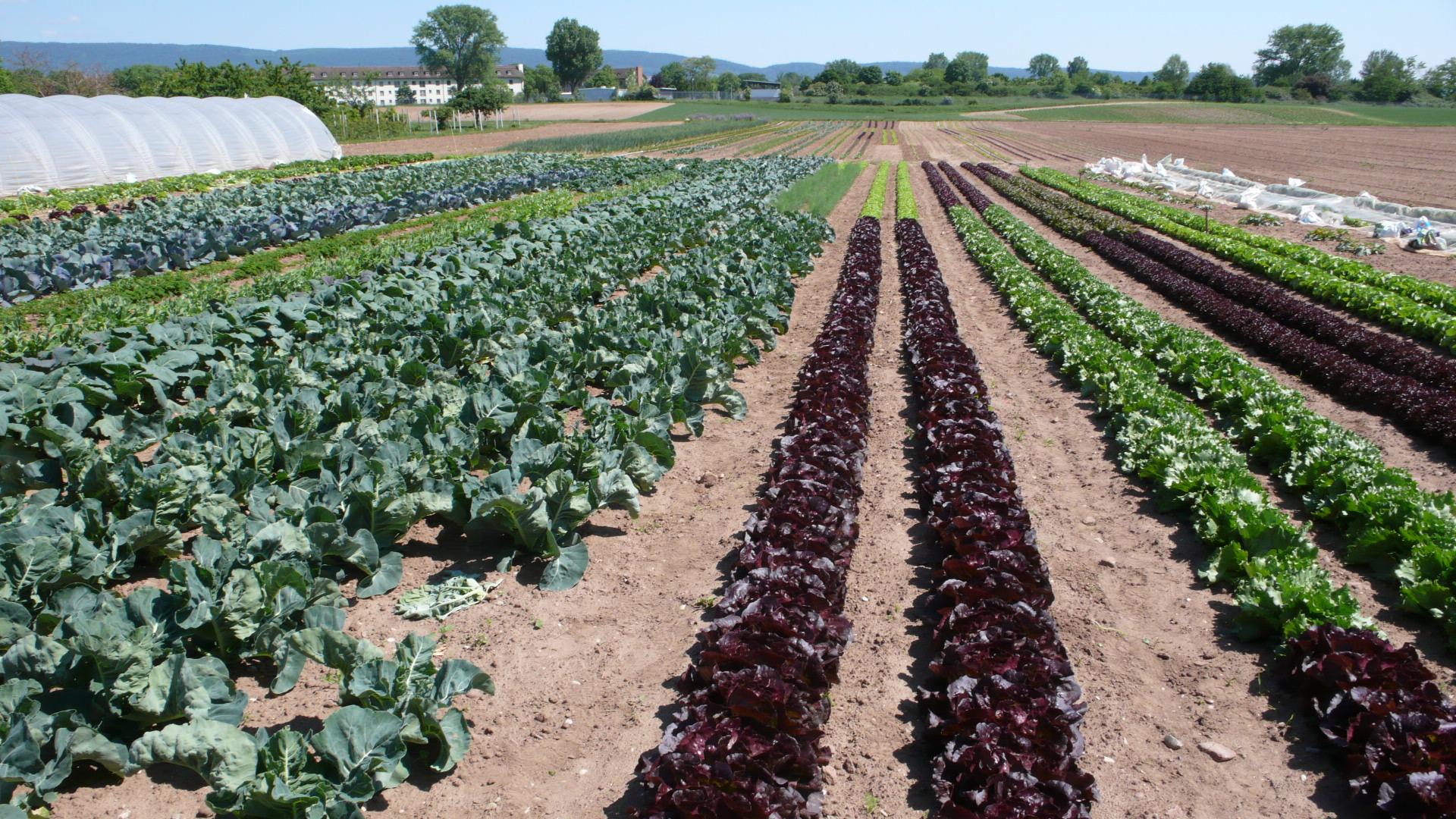 Vielzahl von Salaten im Mai