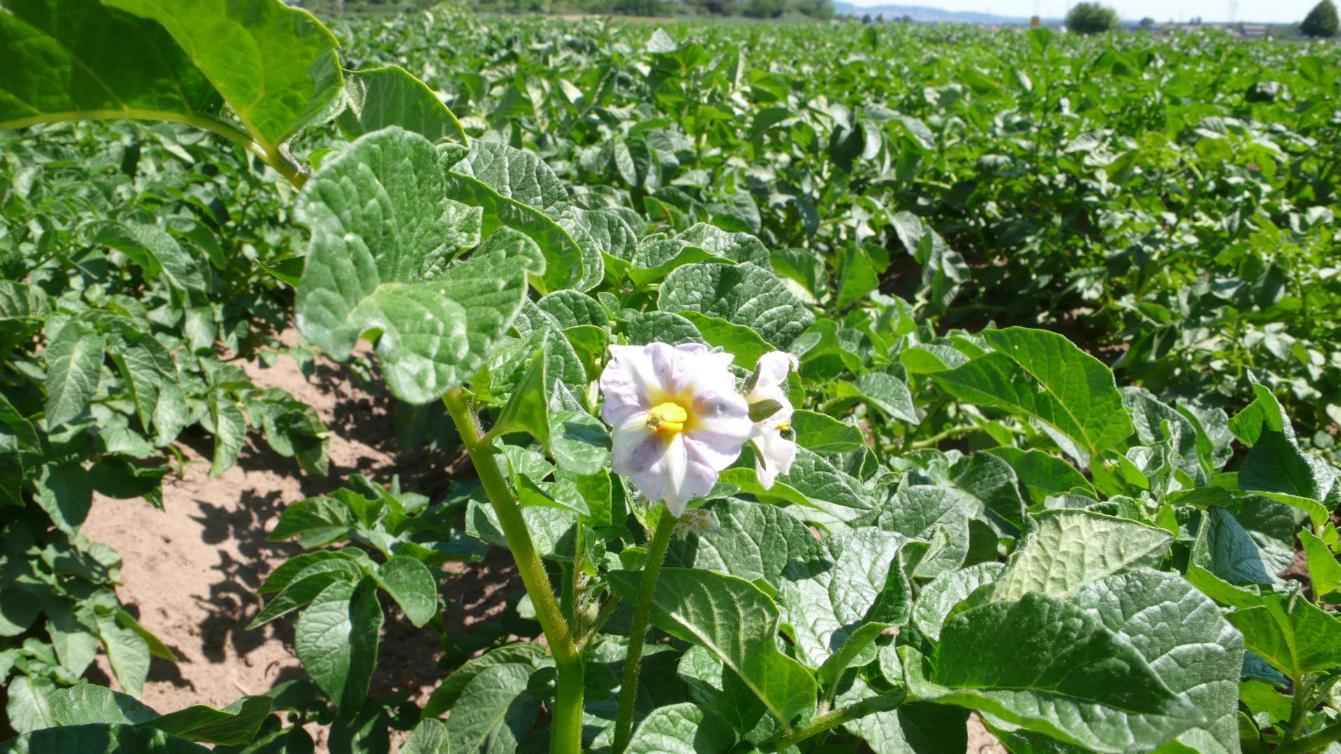 Kartoffeln in Blüte im Mai