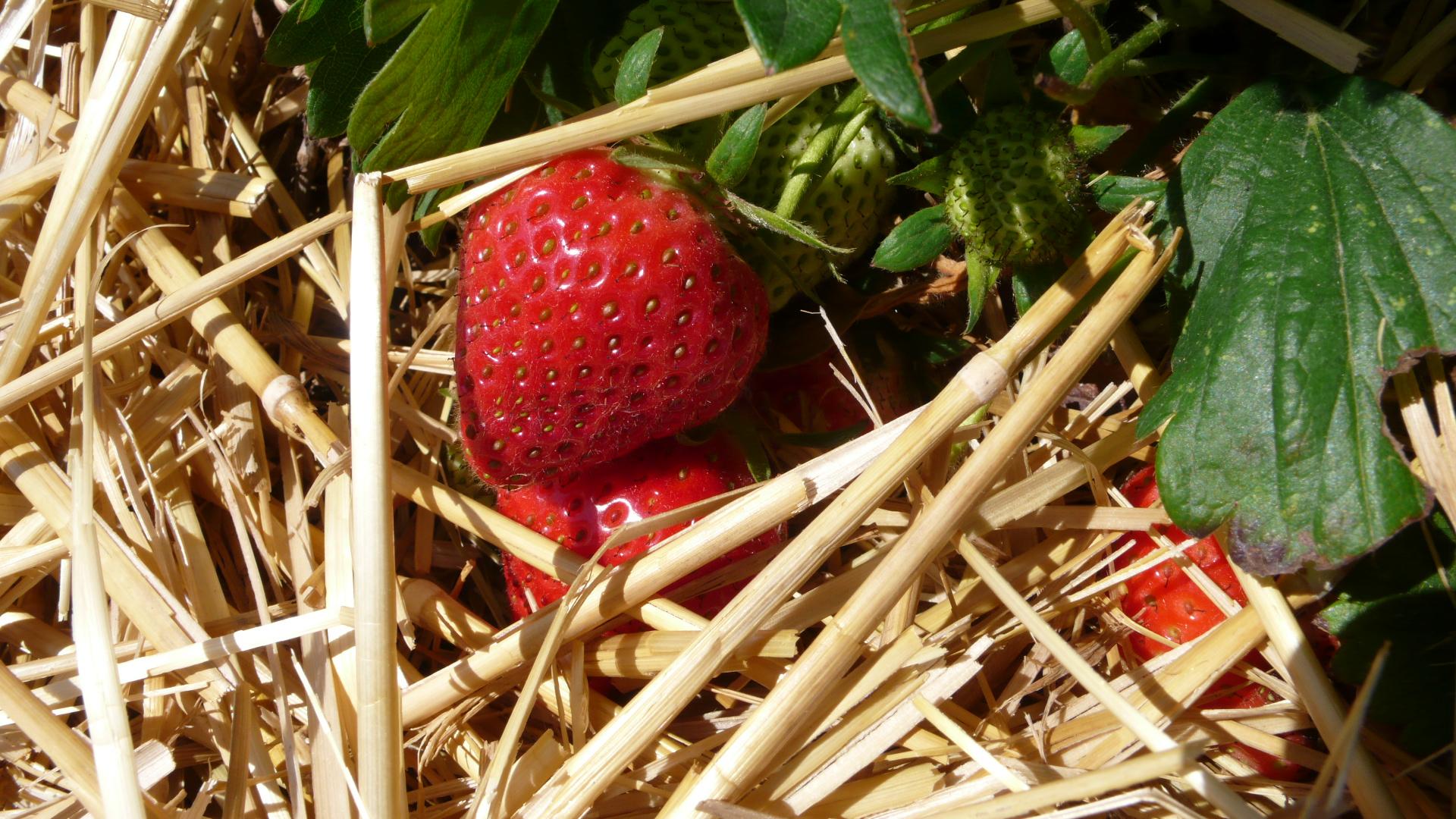 leckere und reife Erdbeeren
