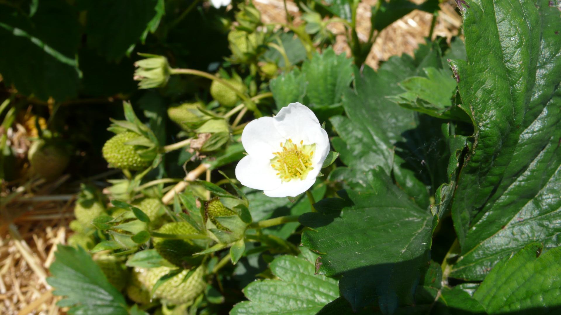 Blüte der Erdbeerpflanze