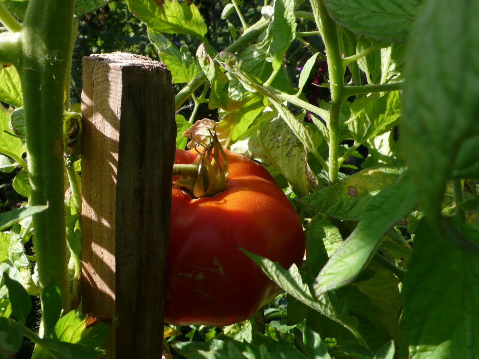 fleischige Tomate