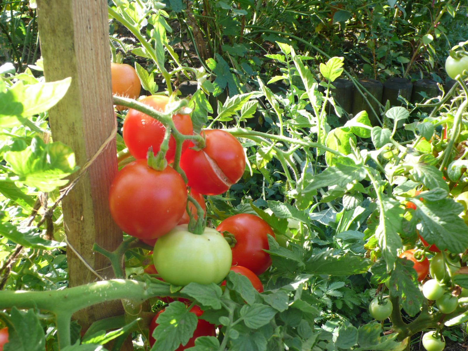Tomatentraube