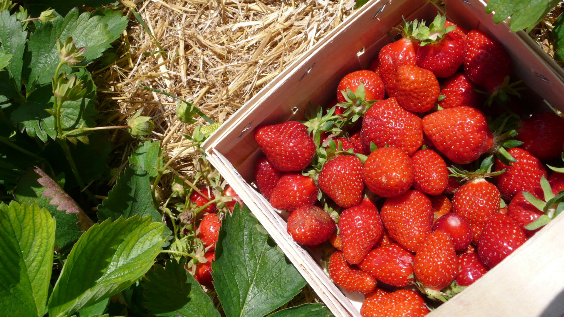 Erdbeeren im Juni