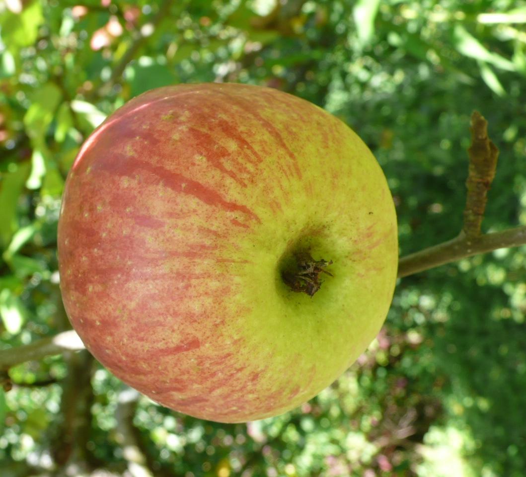 Regionaler Apfelanbau