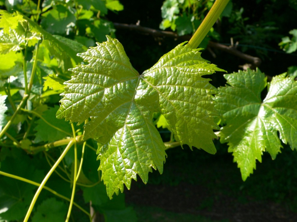 frische Weinblätter