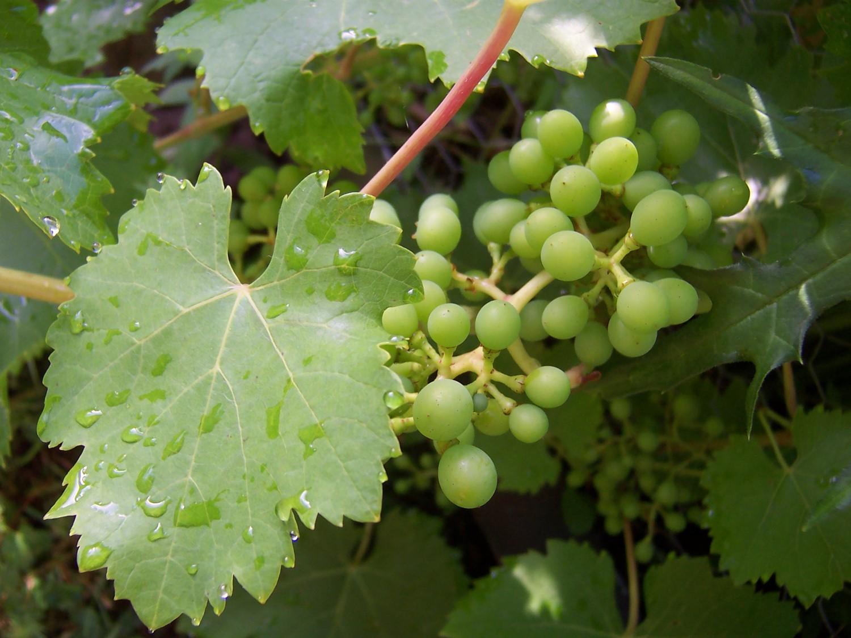 Wein im Ökogarten Heidelberg