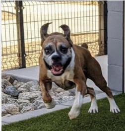 adoptable boxer at Boxer Luv Rescue